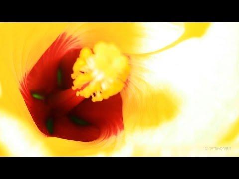 Hibiscus Flowering Timelapse