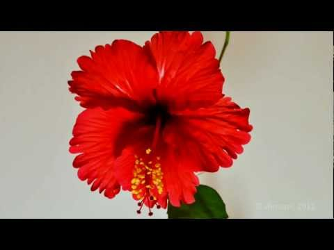 Hibiscus Flower - bud to bloom in a Timelapse - Perspective 2